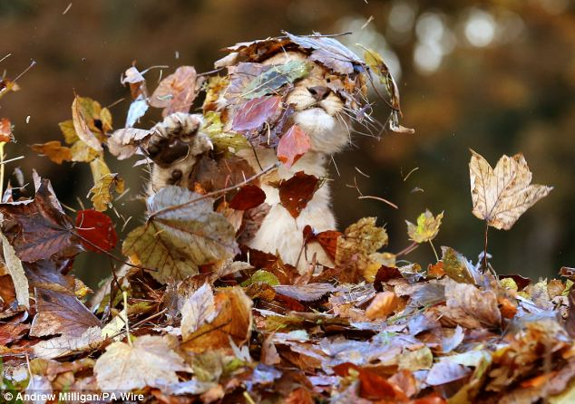 Lion Cub Plays With Leaves3