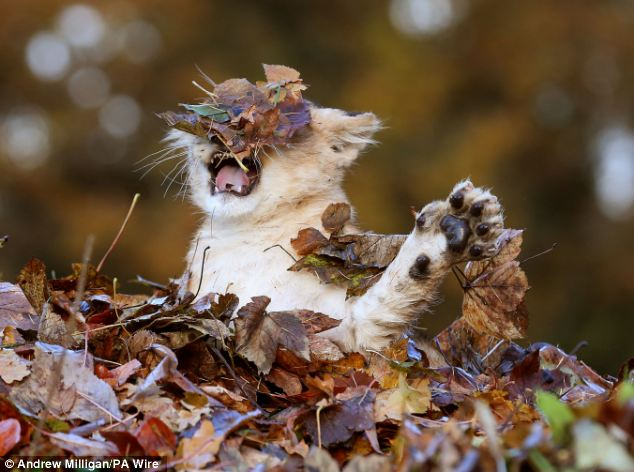 Lion Cub Plays With Leaves4