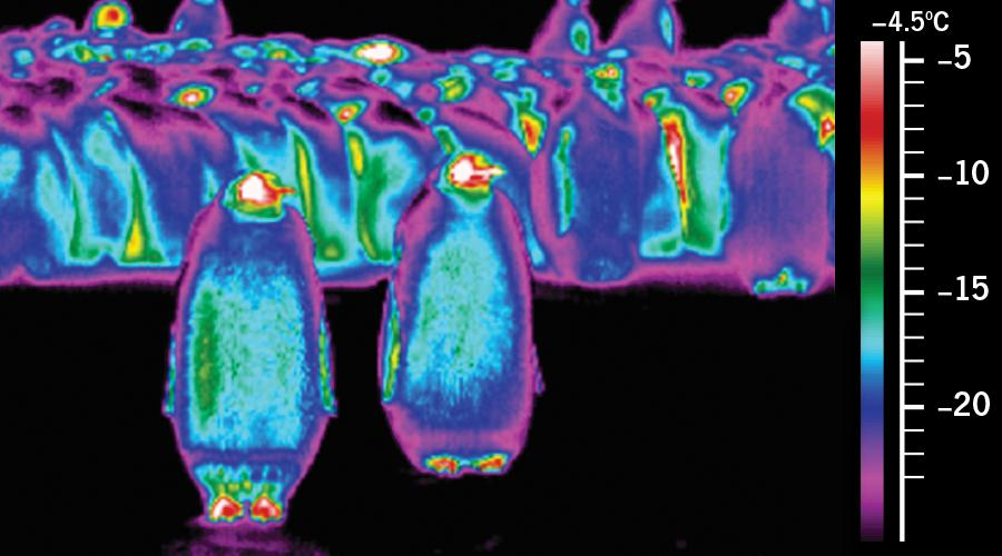 Thermal Image of Emperor Penguins Shows How They Keep Cool ...