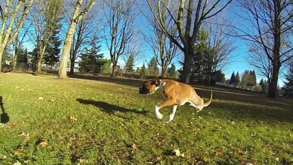 Duncan Lou Who, A Two Legged Boxer Puppy, Learns to Run and Play