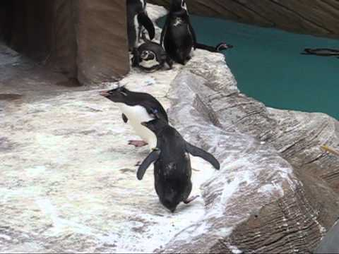 Hopping Penguins Chase After Butterflies