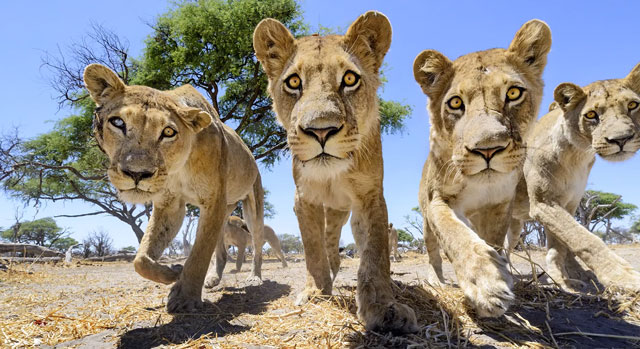 Close-up Photos of Lions by Chris McLennan
