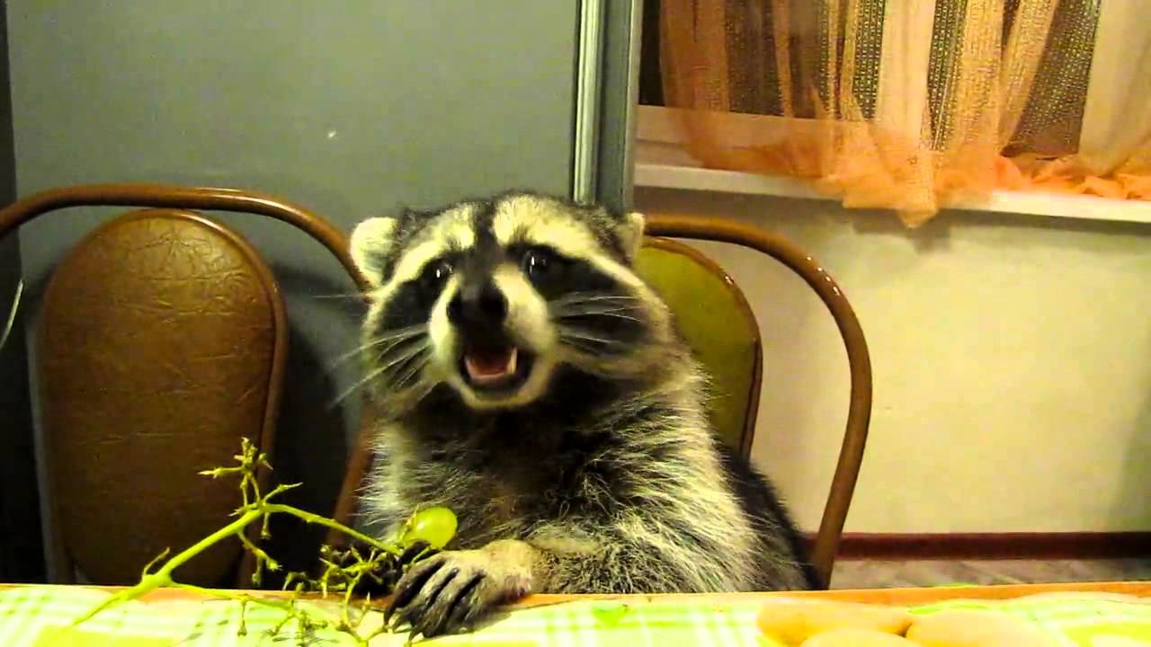 Raccoon Sitting In A Chair Eating Grapes