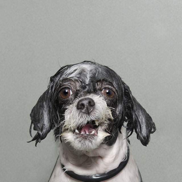 Wet Dog, An Imaginative Photo Series Showing What Dogs Look Like During the Grooming Process