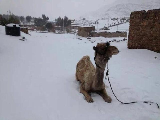 Camel in Cairo Snow