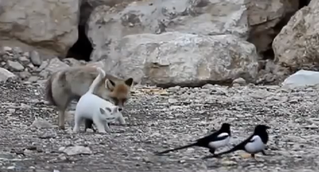 Cat, Fox and Birds