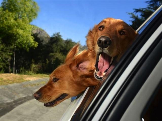 Dogs in Cars - Irish Setters