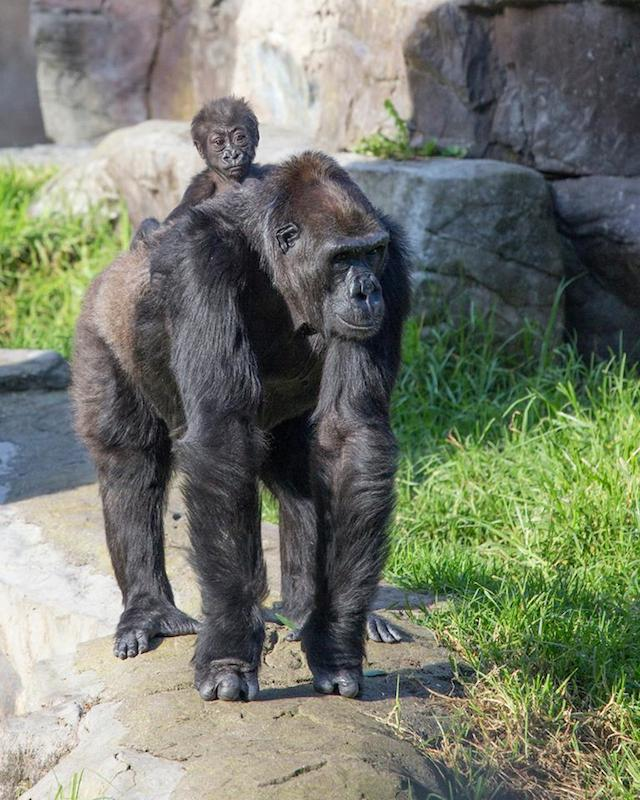 Gorilla Matriarch Bawang Adopts Baby Gorilla Kabibe at the San Francisco Zoo