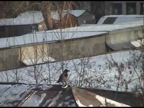 Crow Repeatedly Sleds Down a Roof on a Plastic Lid