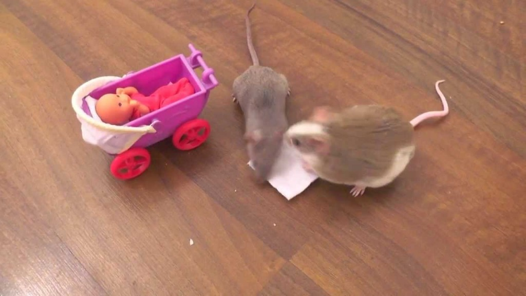Brösel the Trained Mouse Pushing Her Baby Carriage