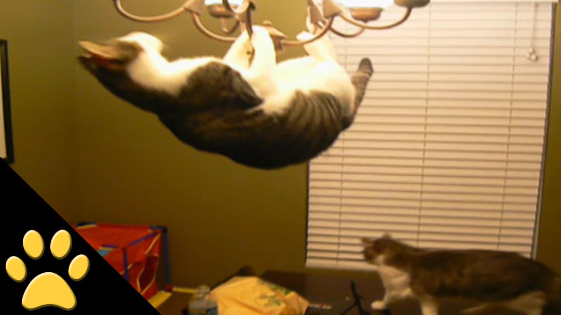 Cat Swings from a Chandelier