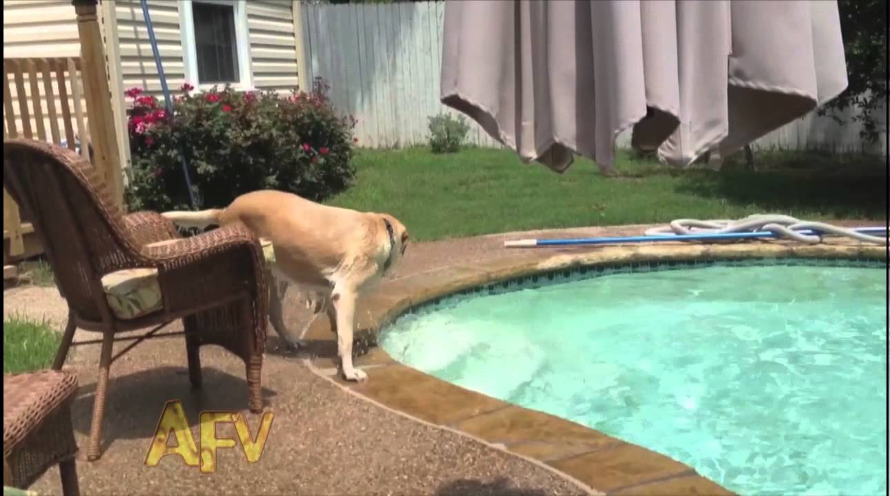 puppy rides a dog across a pool like a surfboard