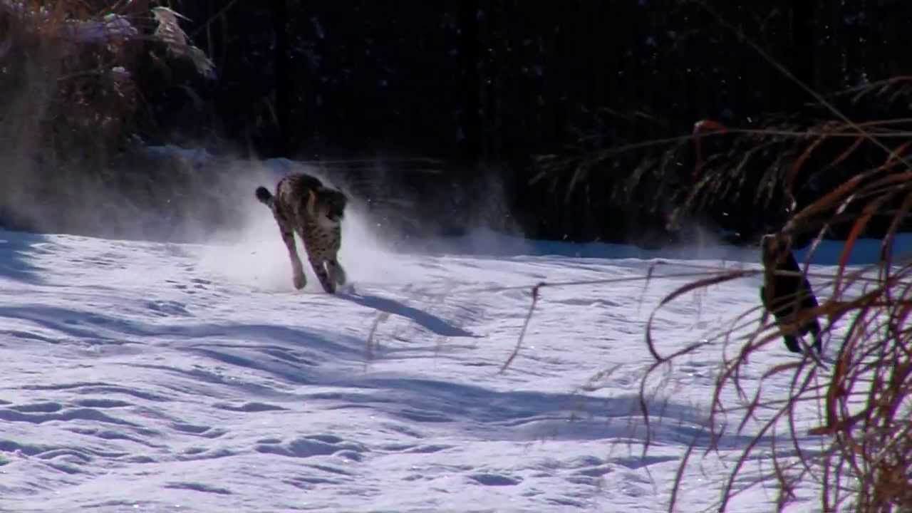 Savanna the Cheetah and Max the Dog Play in the Snow at the Cincinnati Zoo and Botanical Garden