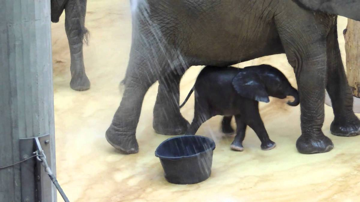 teeny tiny baby elephant takes a bath. Black Bedroom Furniture Sets. Home Design Ideas