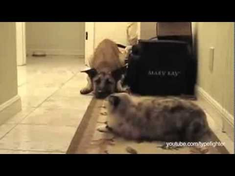 Dogs Afraid Of Cats Video Huffington Post