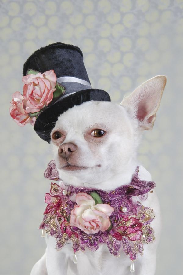 dog vogue portraits of chihuahuas in high fashion