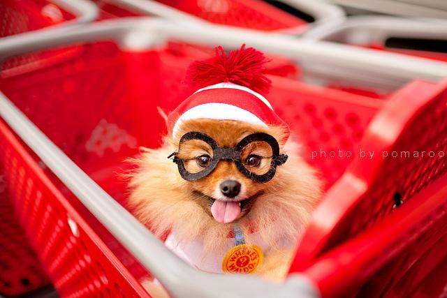 Where's Waldo? Pomeranian edition!