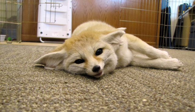 Amir the Fennec Fox
