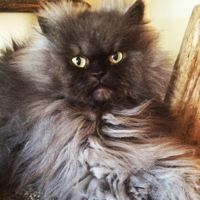 Colonel Meow - No Petting