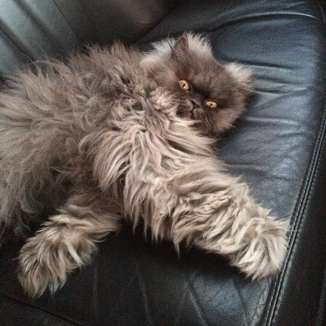 Colonel Meow in the Car