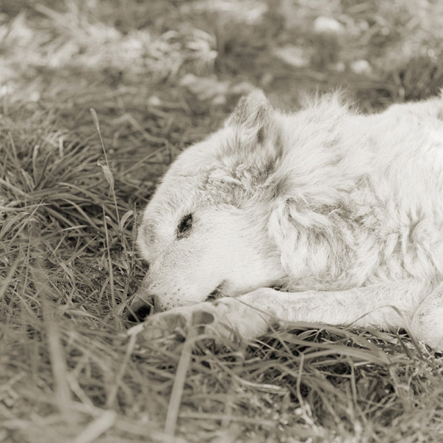 Kiri, Great Plains Wolf, Age 17