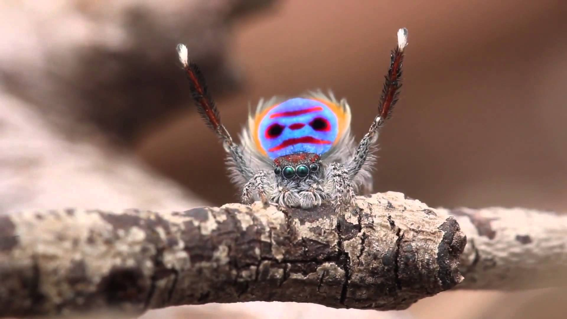 Peacock spider dance - photo#3
