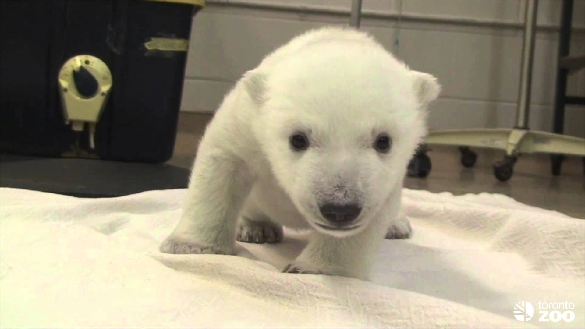 Polar Bear Cub Attempts First Steps at Toronto Zoo