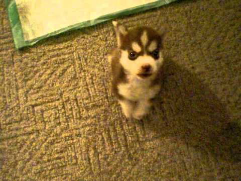 Remmington the Tiny Husky Puppy Shows Off His Adorable Bark