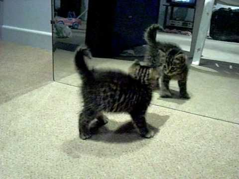 Tiny Kitten Battles His Own Reflection in the Mirror