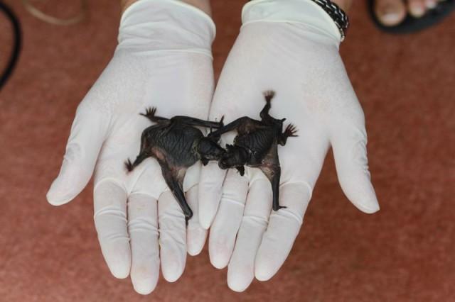 Lesser Short-Tailed Bat Twins