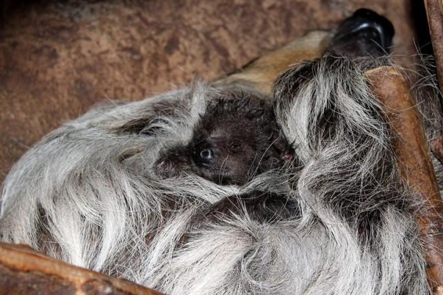 Baby Sloth Hidden by Mom