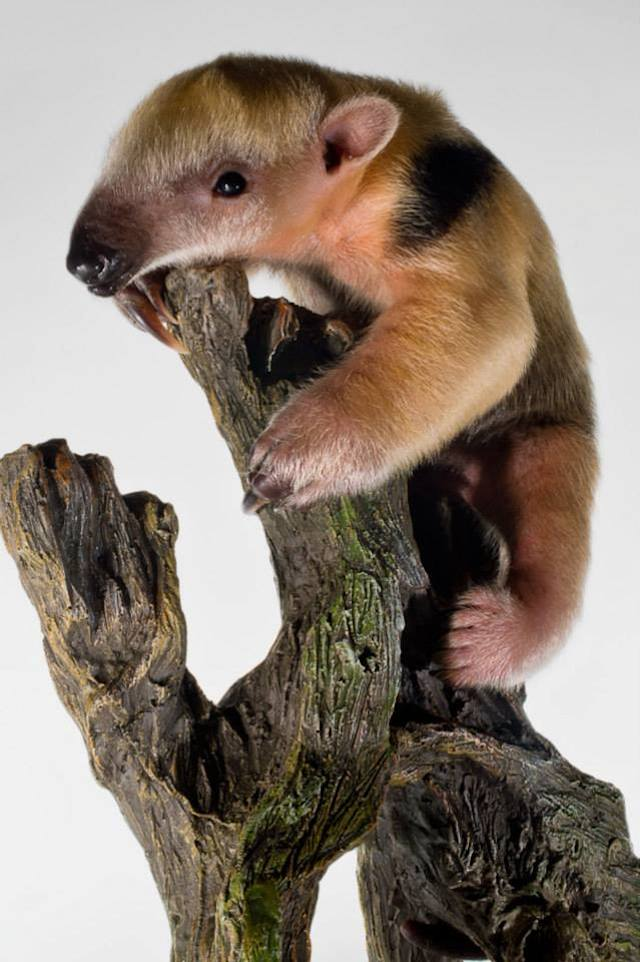 Baby Tamandua in tree