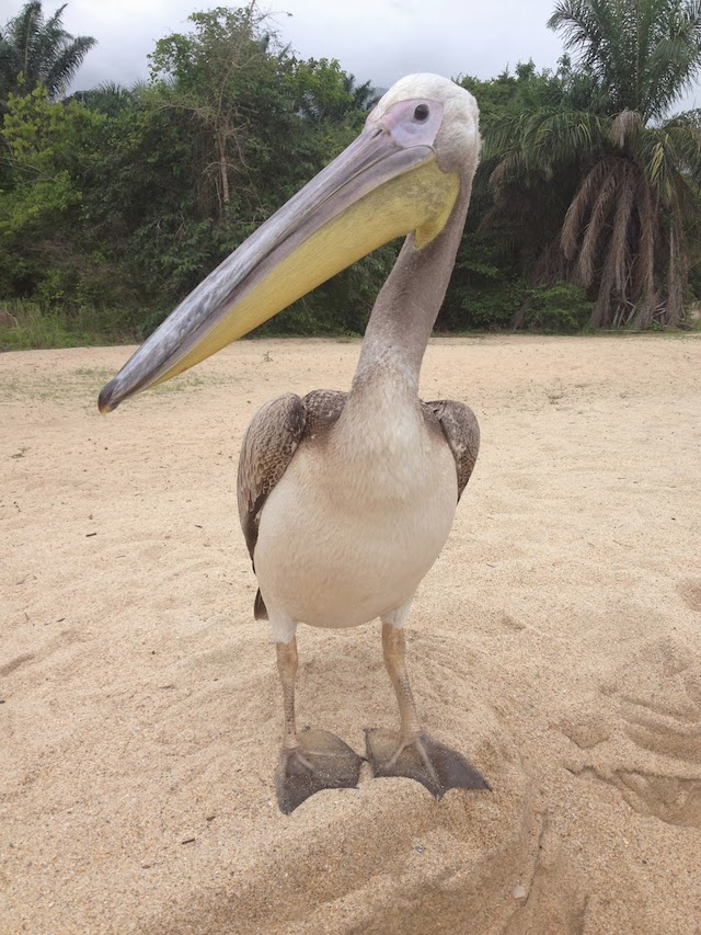 Big Bird the Pelican