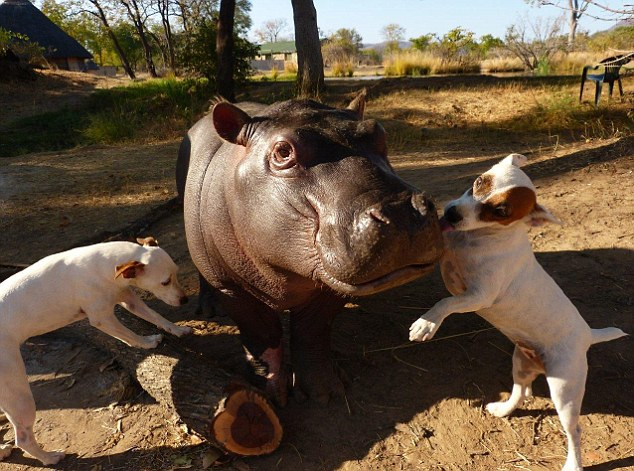 Douglas the Hippo with Dogs