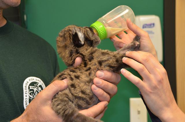 Florida Panther Kitten Eating