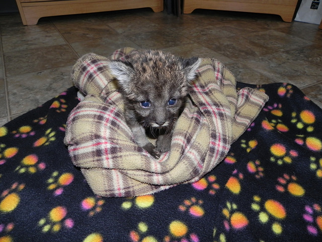 Florida Panther Kitten On Blanky