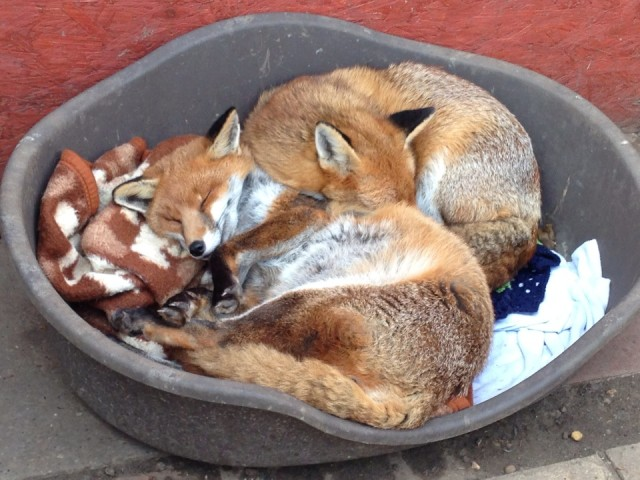Foxes at Nuneaton & Warwickshire Sanctuary