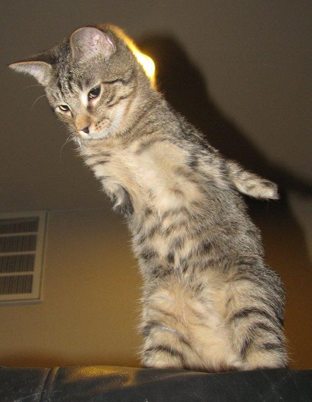 Mercury the Two Legged Cat