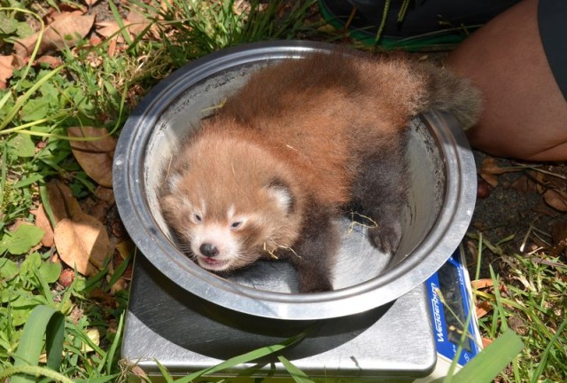 Nepalese Red Panda in Bowl