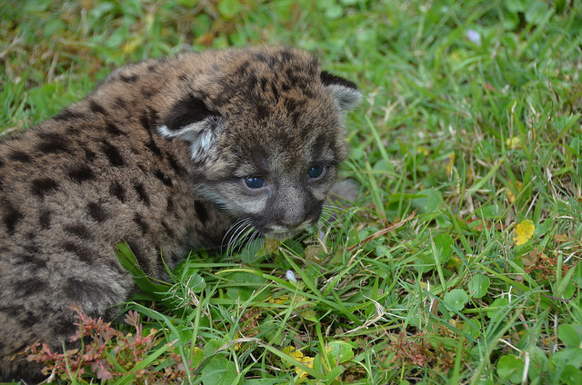 Panther Kitten in the Grass