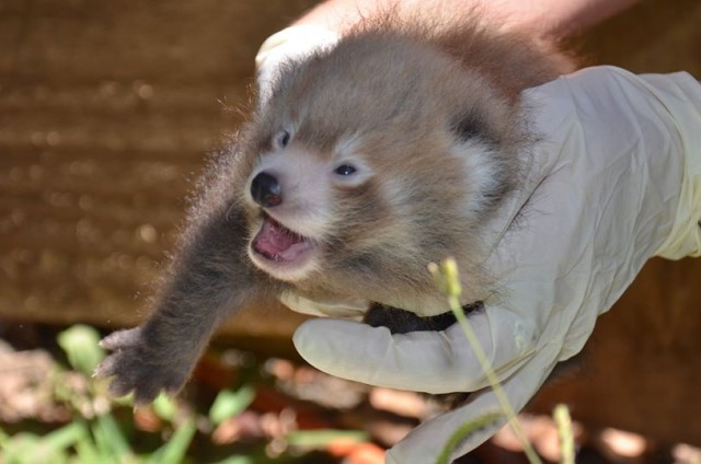 Red Panda Cub at Aukland Zoo