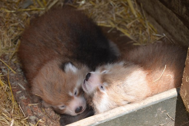 A Pair of Rare Adorable Nepalese Red Panda Twins Born at the Auckland Zoo in New Zealand