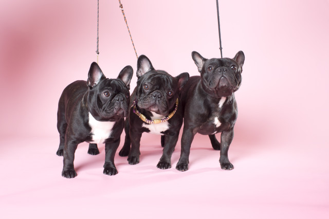 Westminster French Bulldogs - Yves San Laurent