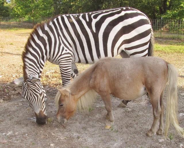Zebra and Horse