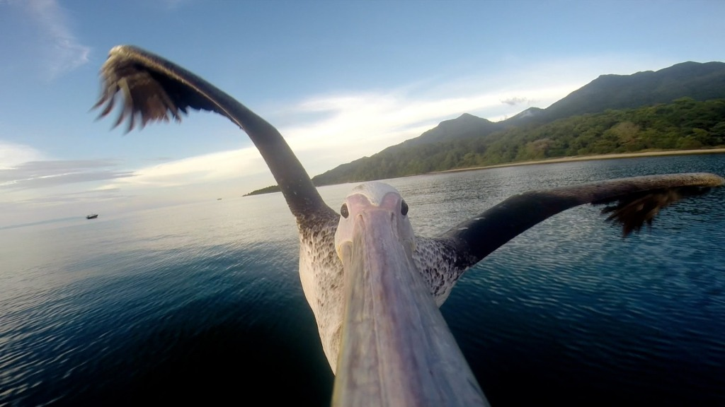 A Rescued Pelican With A GoPro Camera Strapped to His Beak Documents  First Successful Flight