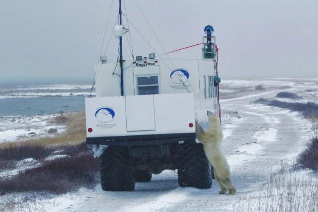 Google Maps Polar Bears