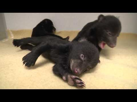 Three Orphaned Bear Cubs Receive Care at the Oregon Zoo