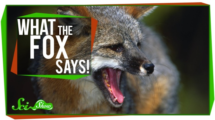 What Sounds Foxes Really Make