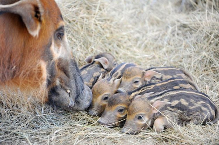 Five African Red River Hog Piglets Born at Zoo Miami
