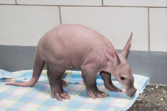 Baby Aardvark Born At The Detroit Zoo